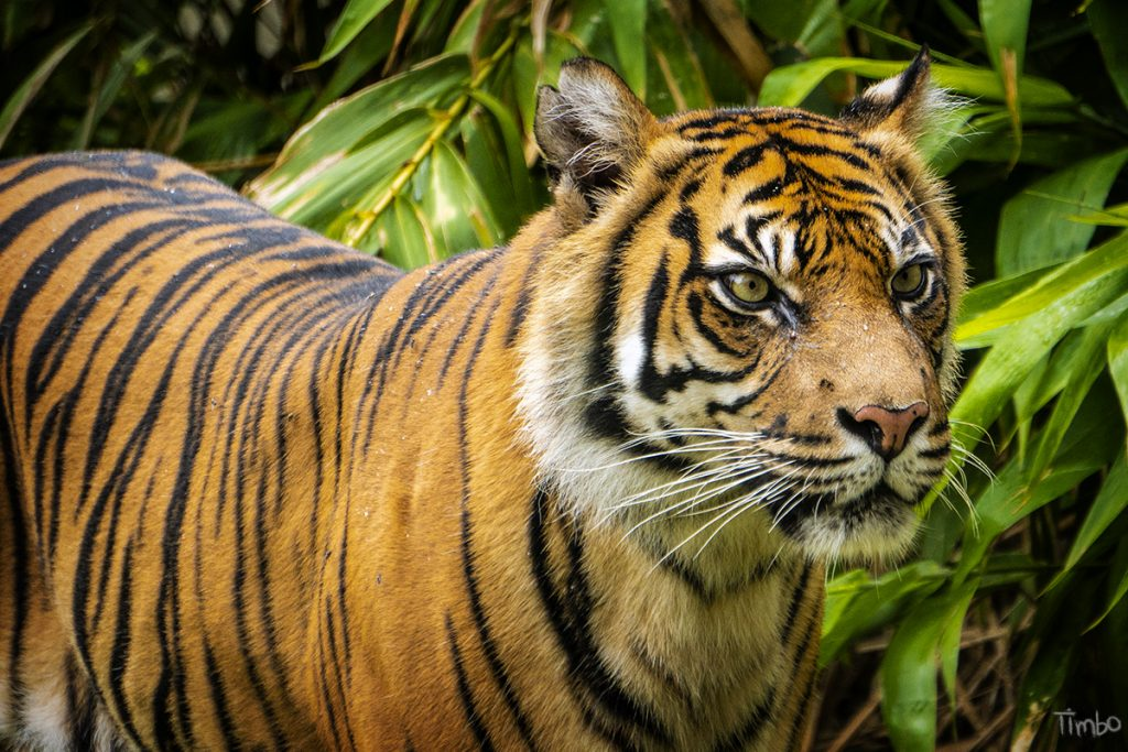 Tiger photographed by Tim Horan